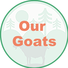 Driftless, Goat, Company, Goat Rental, Weed Control, Boer, Nubians, management, forest, prairie, farm, farmland, DNR, Natural Resources, rough, spray, poison, Billy Goat, Goat Rental, clearing, agriculture, livestock, environmental, friendly, invasive, species, green, fertilize, chemicals, forest fire, herbicides, waterways, brush, eco, effective, removal, unwanted, footprint, cost effective, alternative, bulldozing, labor, terrain, rough, steep, hard to reach, vegetation, tough, Buckthorn, Parsnip, Wild, Cucumber, Poison Sumac, overgrown, invasion, thistle, nettle, Minnesota, Iowa, Wisconsin, Lanesboro, Preston, Harmony, Wykoff, Grand Meadow Spring Valley, Stewartville, Rochester, Eyota, St. Charles, Lewsiton, Rushford, Whalan, Peterson, Houston, Caledonia, Spring Grove, Mabel, Cresco, Decorah, Burr Oak, Winona, Hokah, La Crescent, Brownsville, Eitzen, Waukon, La Crosse, Onalaska, Holmen, Trempealeau, Fountain City, Wabasha, Kellogg, Southeast, Tri State, Mississippi, Rivers, Lakes, Parks, conservation, Roundup, Glyphosate, homemade weed killer recipe, vinegar, lawn care, RM43, Spectracide, Crossbow, Preen, Ortho, 2,4-D Dicamba, Phytophotodermatitis, Phydura, Dynaweed, Fillmore County, Olmsted County, Winona County, Winneshiek County, Howard County, gardening, killer, Dandelions, Clover, Sustainable, greenhouse, gas, acreage, paddock, seeds, mother nature, plants